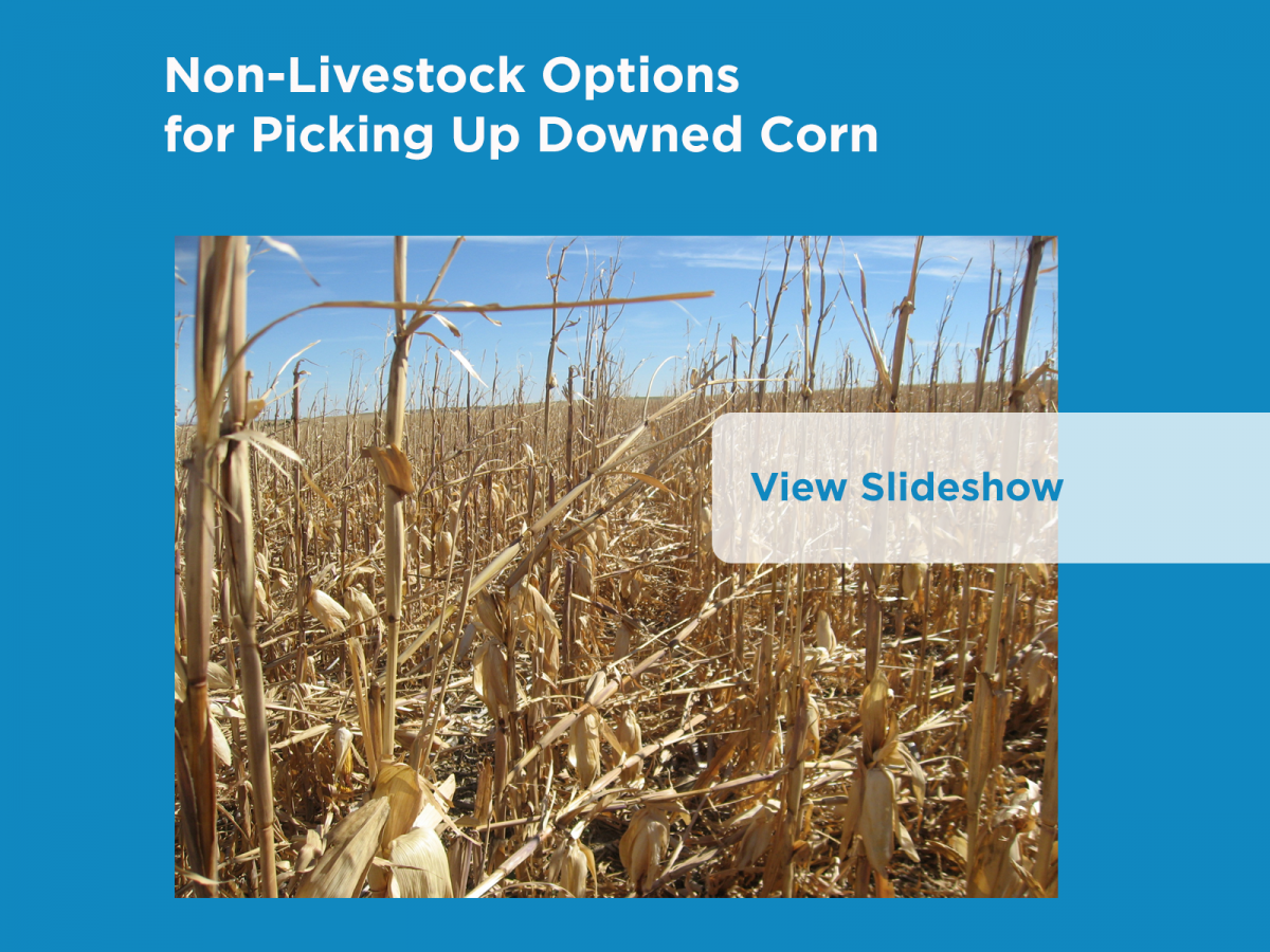 Non-Livestock Options for Picking Up Downed Corn