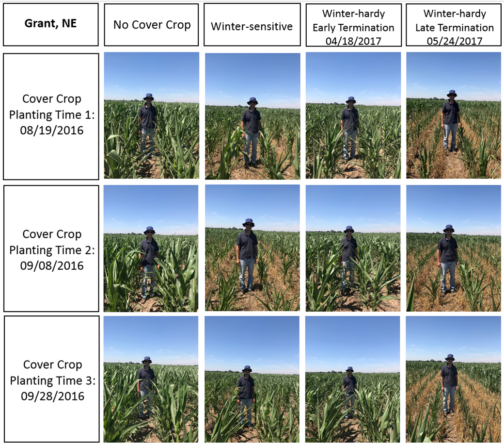 Photos comparing corn after various cover crop treatments