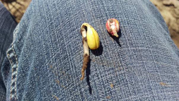 Germinated soybean and corn seeds