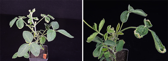 Dicamba injury to soybean