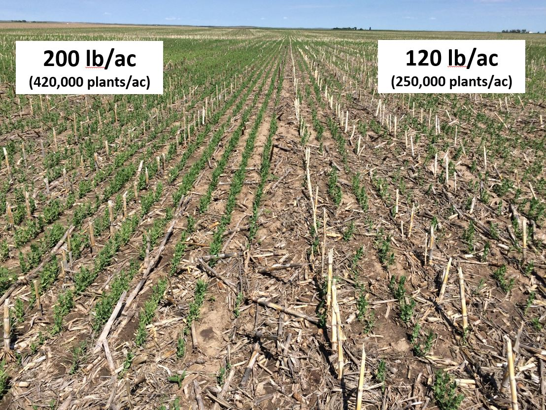 Seeding rate stand differences