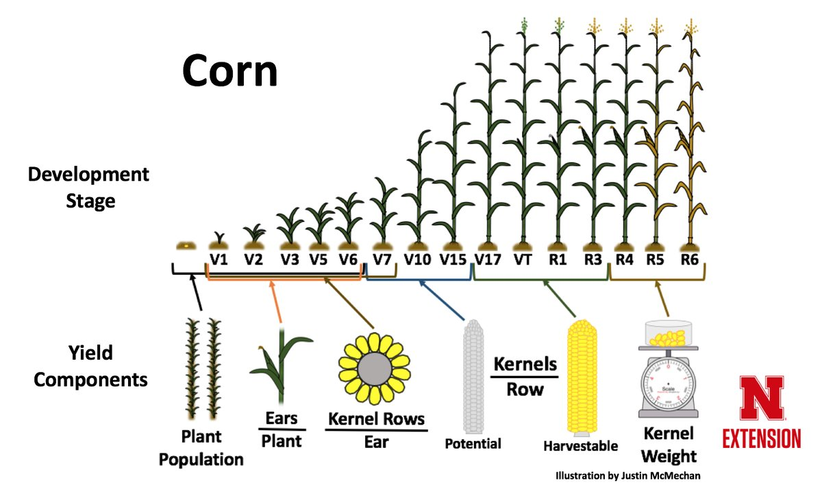 Corn yield components at  various growth stages
