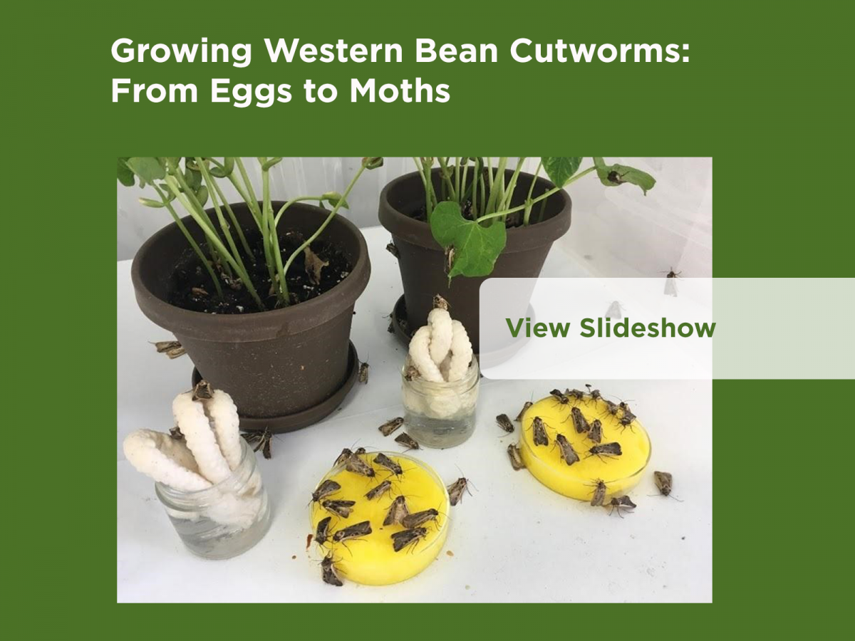 Growing Western Bean Cutworms: From Eggs to Moths