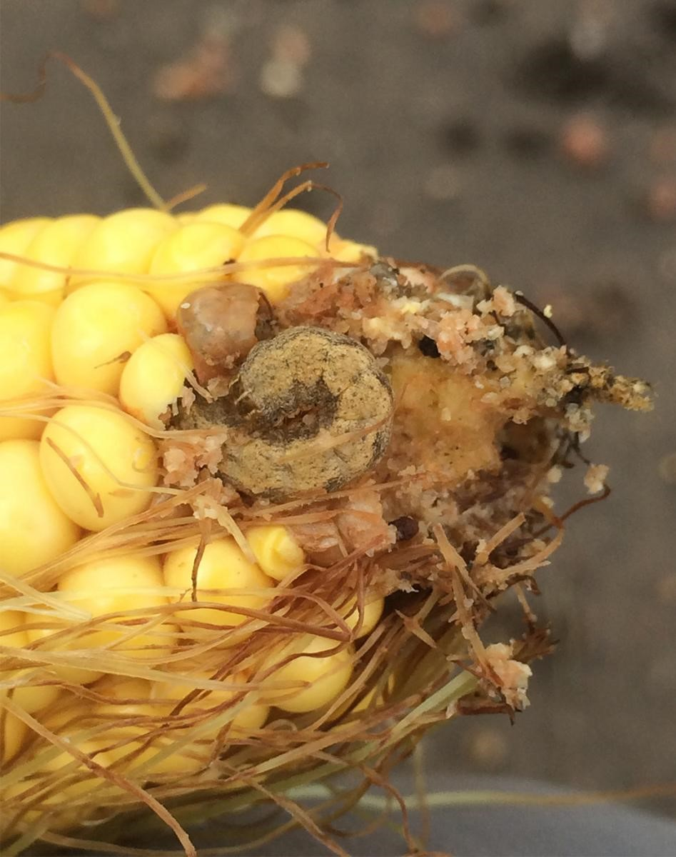 western bean cutworm feeding on an ear of corn