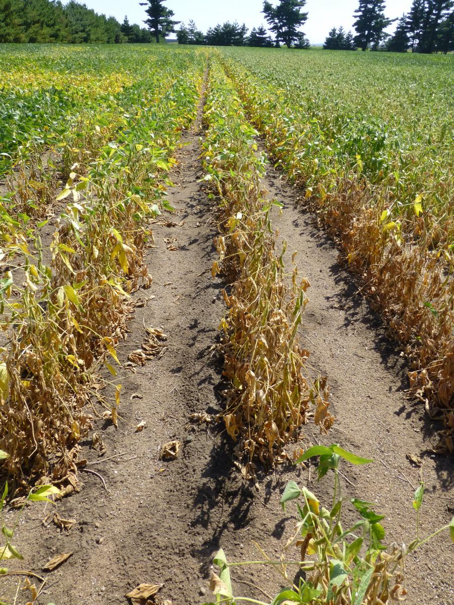 Soybean field with charcoal rot