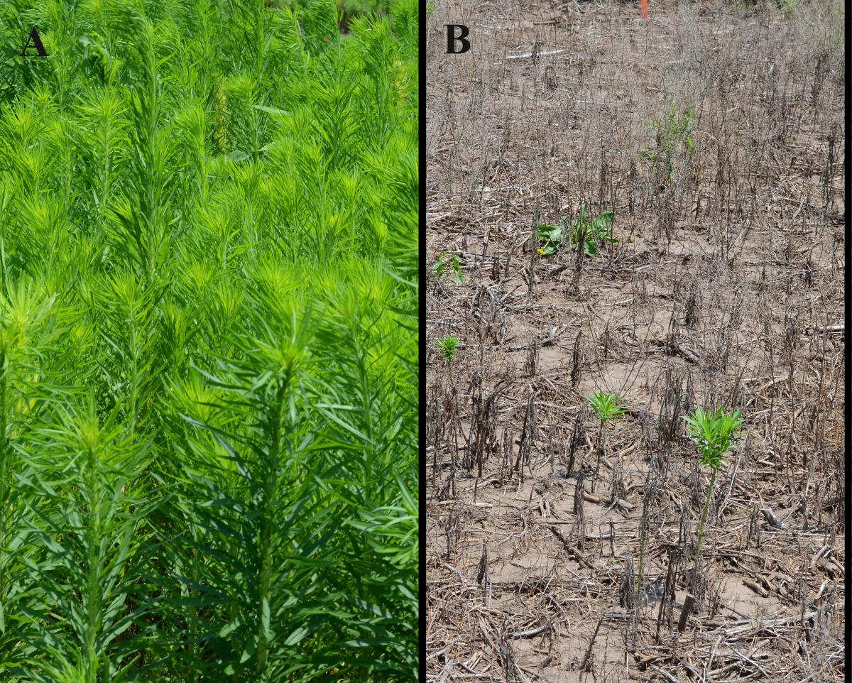 Marestail herbicide trials