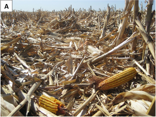Corn harvest loss in field