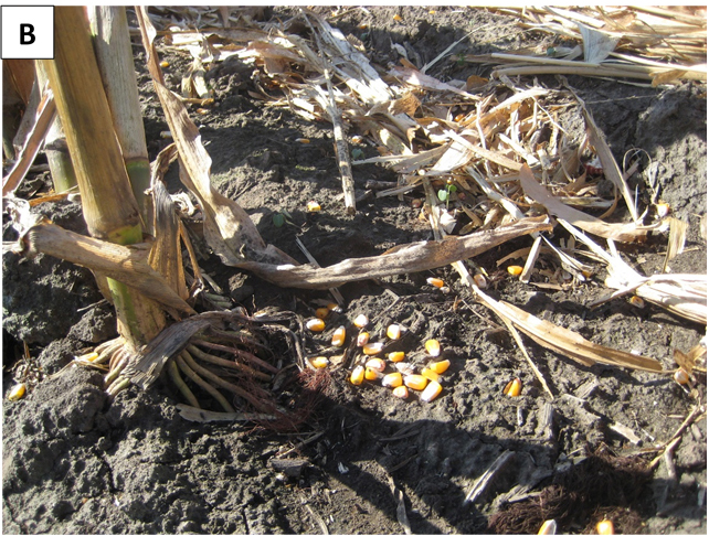 Corn kernel harvest loss in field