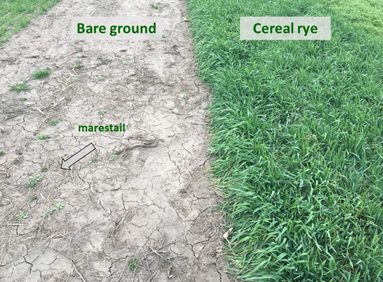bare-ground-weeds-cover crop