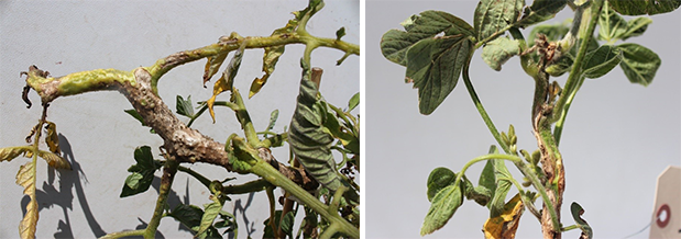Dicamba injury to tomato and soybean