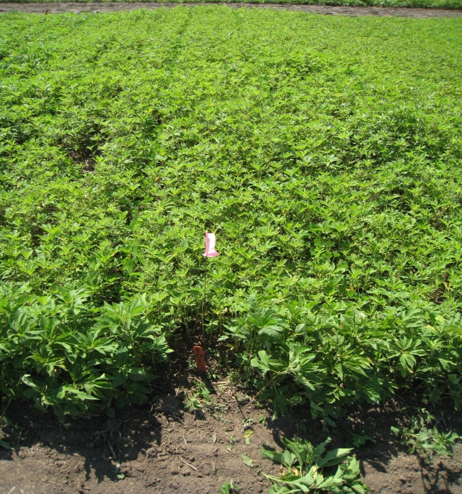 uncontrolled giant ragweed in soybean