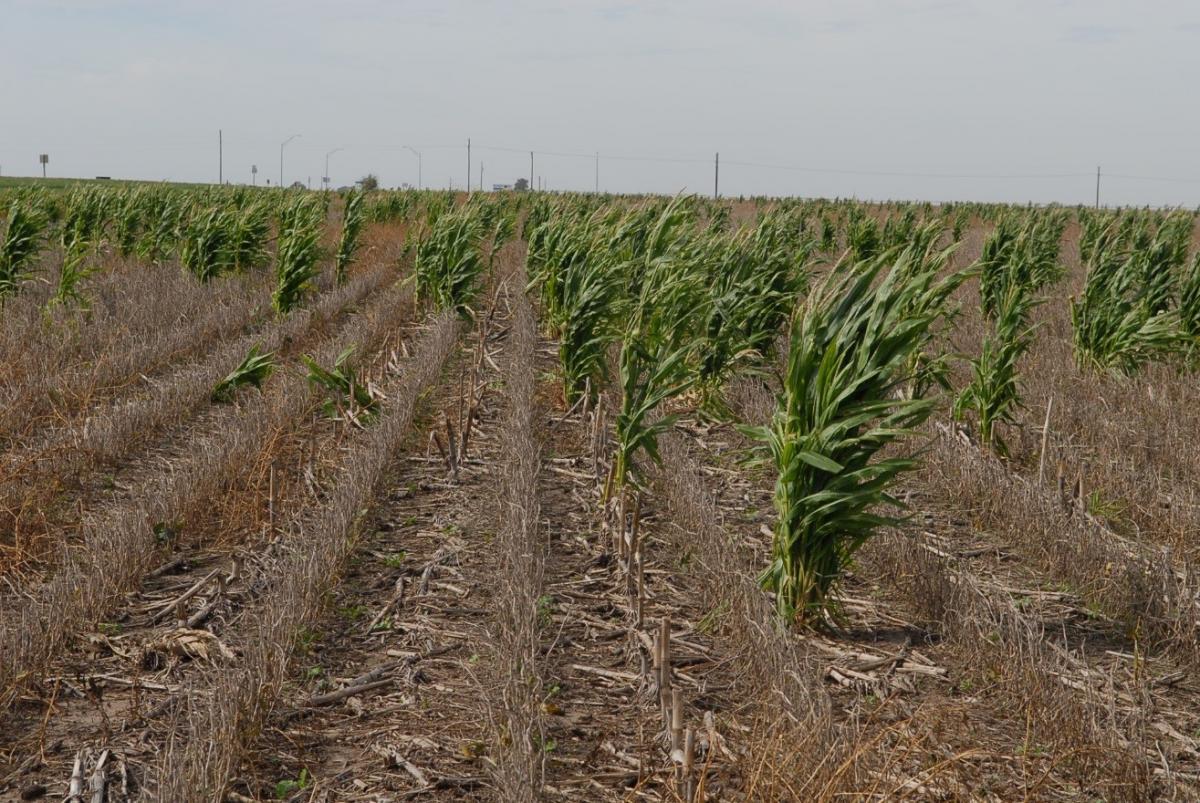 Blyphosate-resistant volunteer corn in glyphosate-resistant soybean field