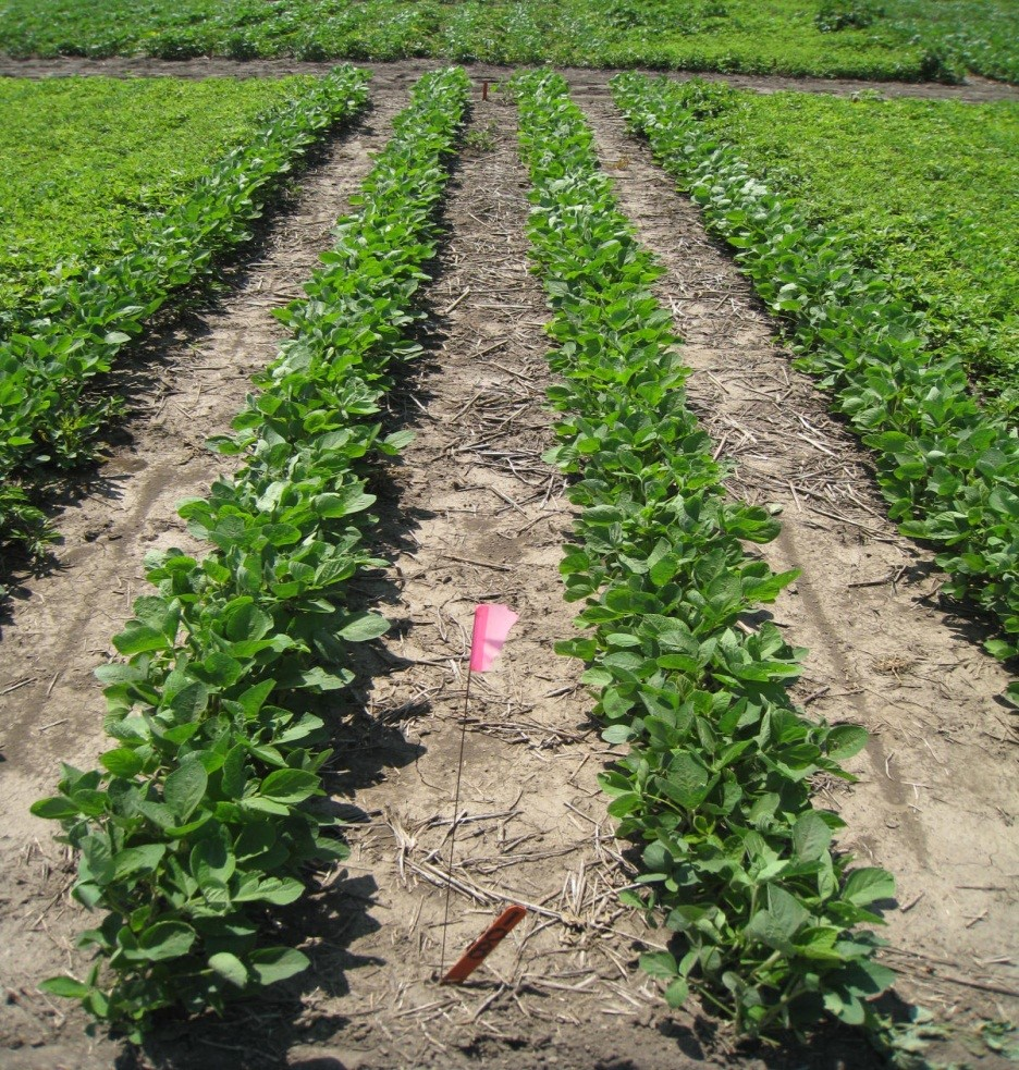 Planting Interval of Corn and Soybean after 2,4-D/ Dicamba