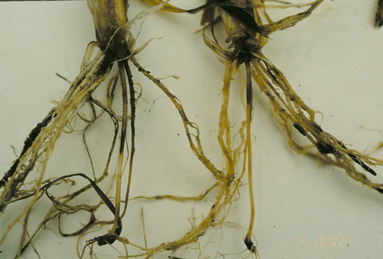 Crown and root rot of wheat