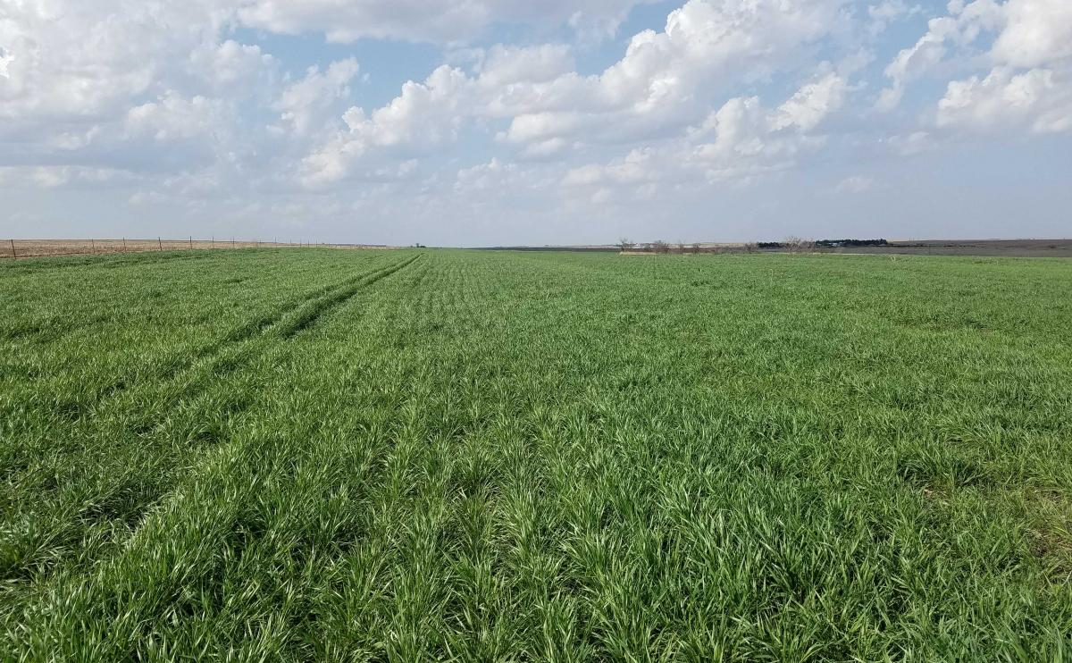 Wheat field in Furnas County