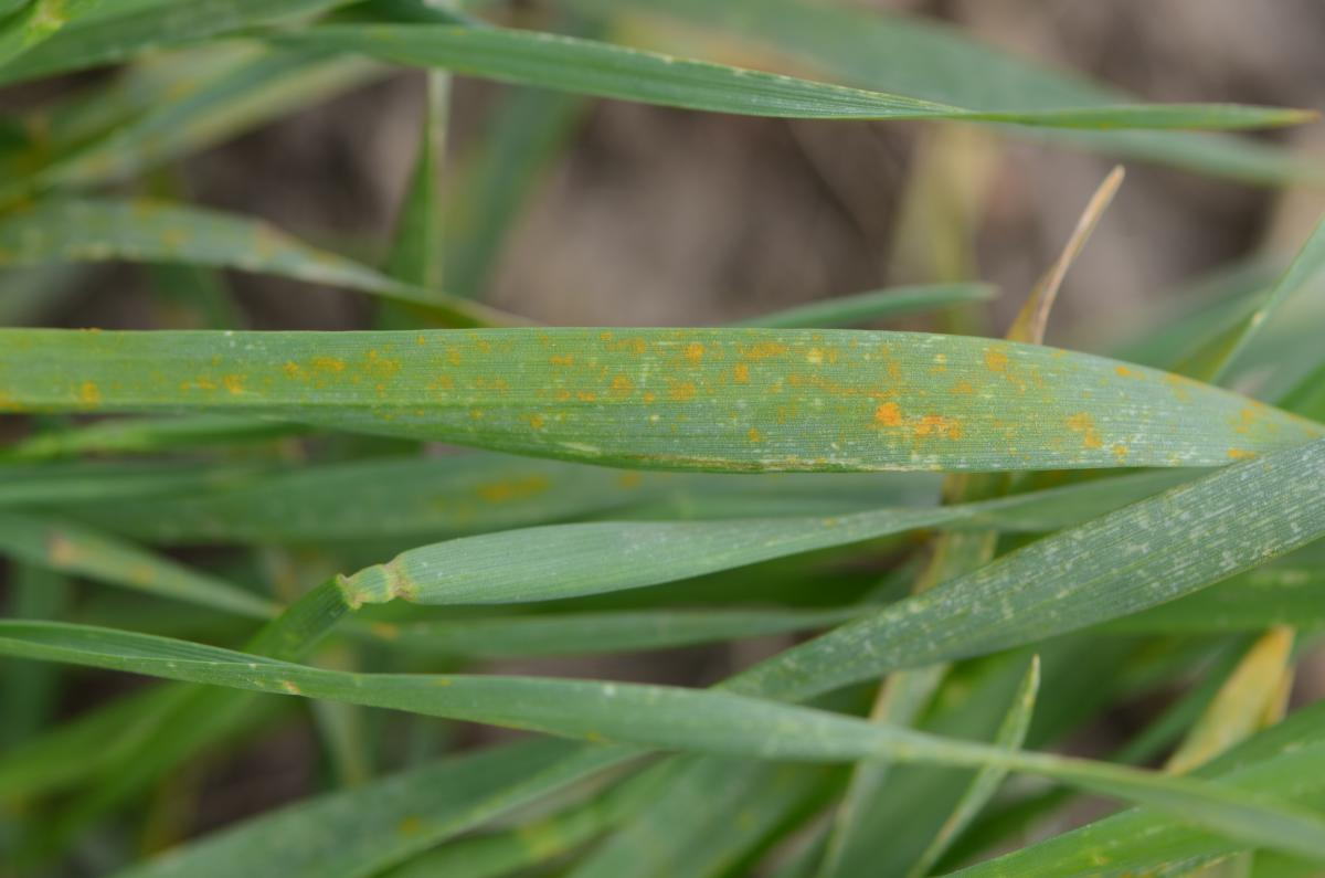 Stripe rust on wheat in early spring