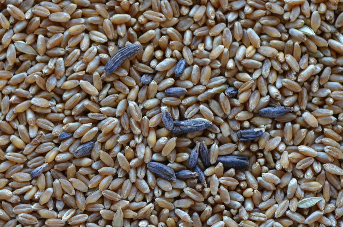 Wheat kernels with ergot