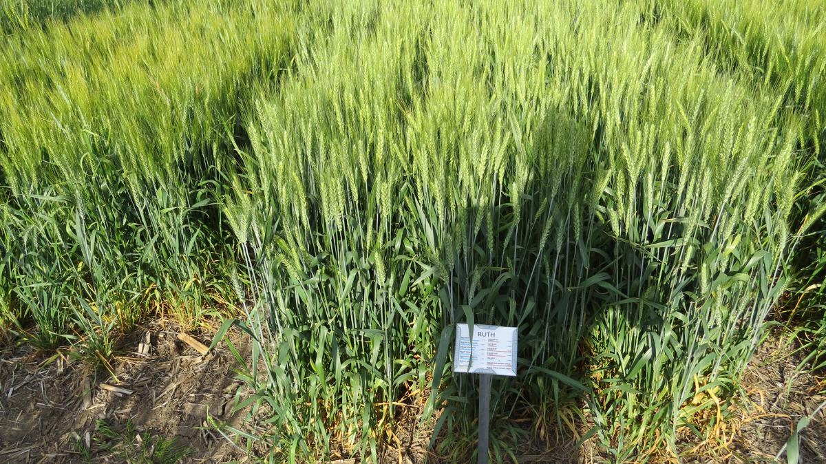 Ruth winter wheat variety