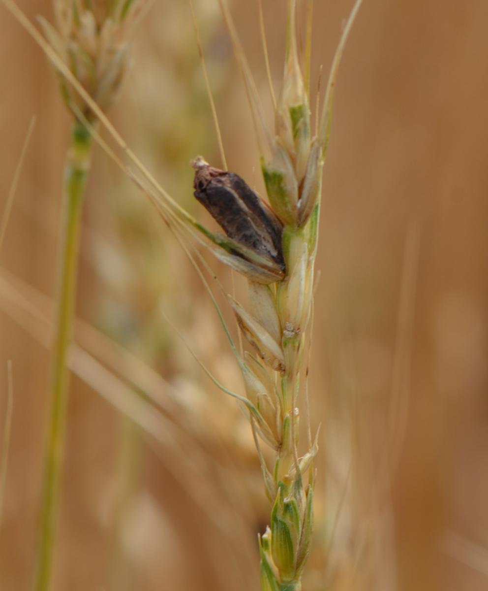 Ergot in a wheat head