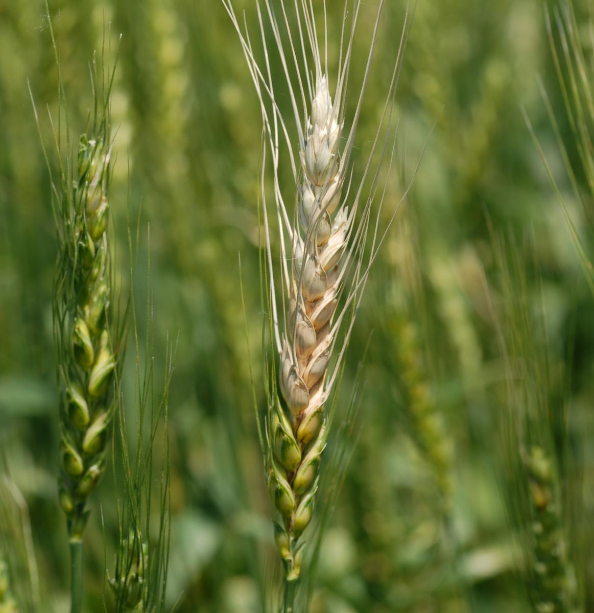 Fusarium head blight in wheat