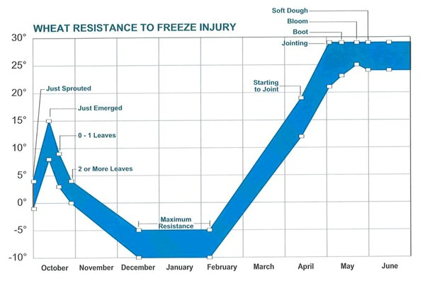 Graph showing wheat resistance to freeze injury at different times