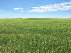 New soft durum wheat from USDA ARS growing in Idaho