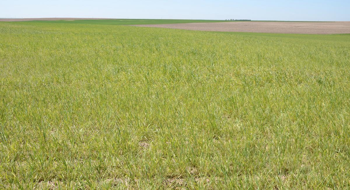 wheat field with wheat streak mosaic virus