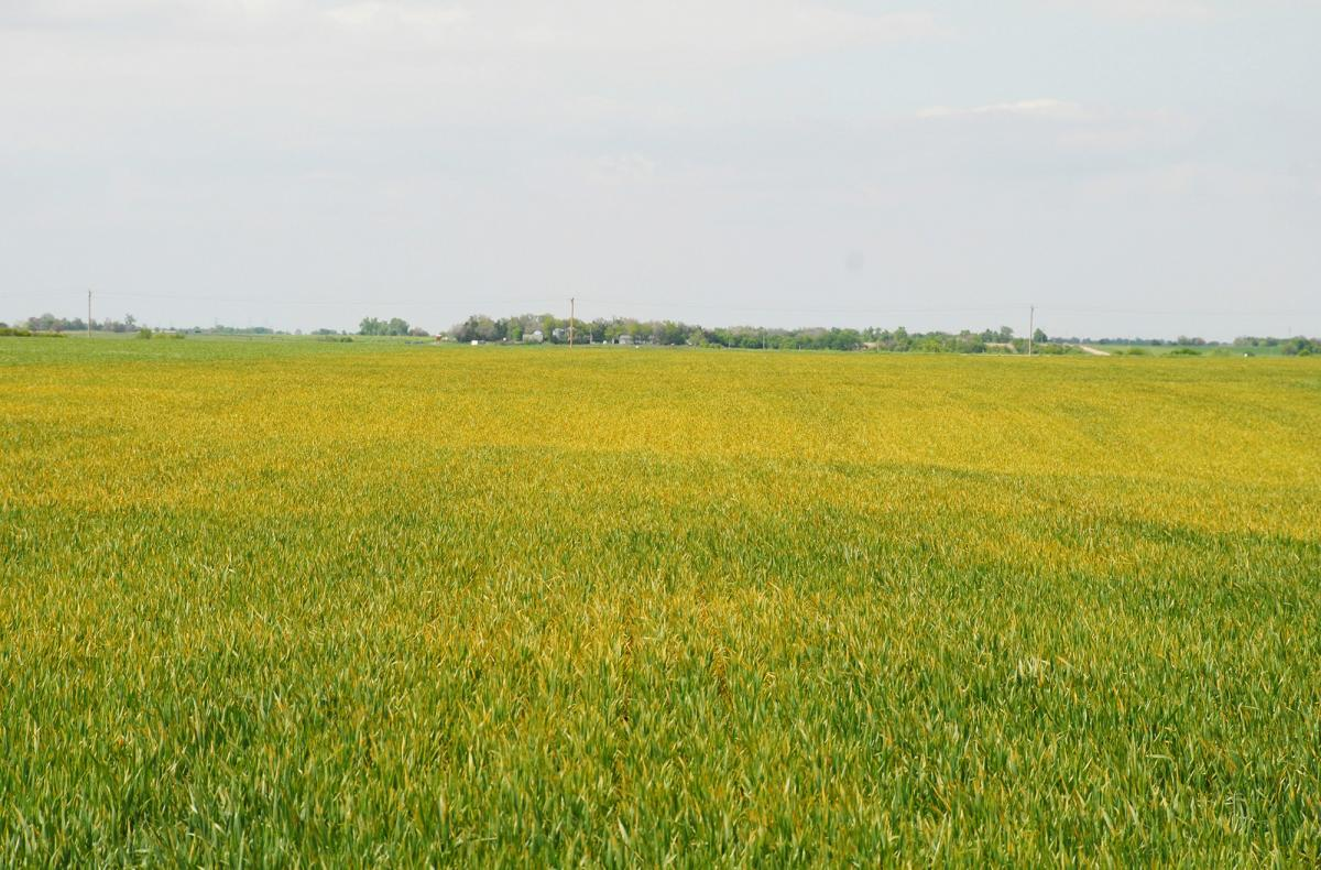 Wheat field with stripe rust