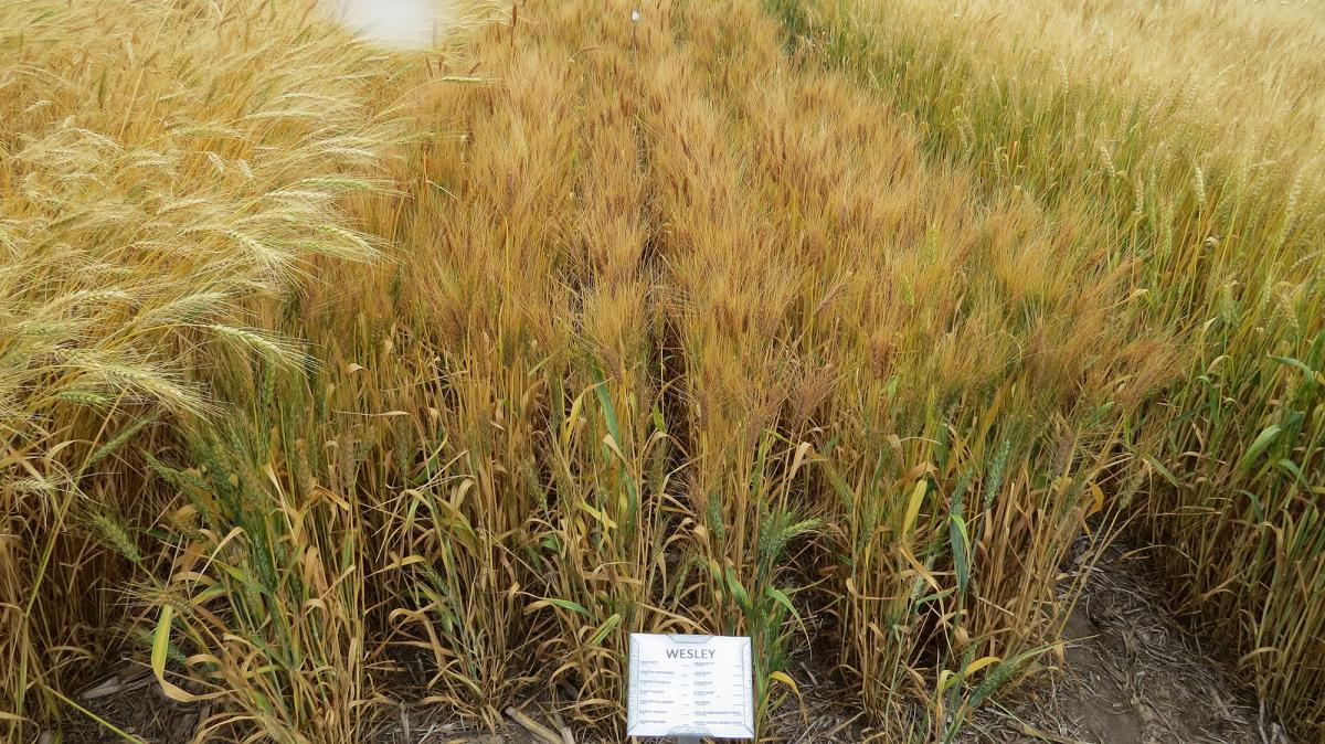 Wesley variety of wheat