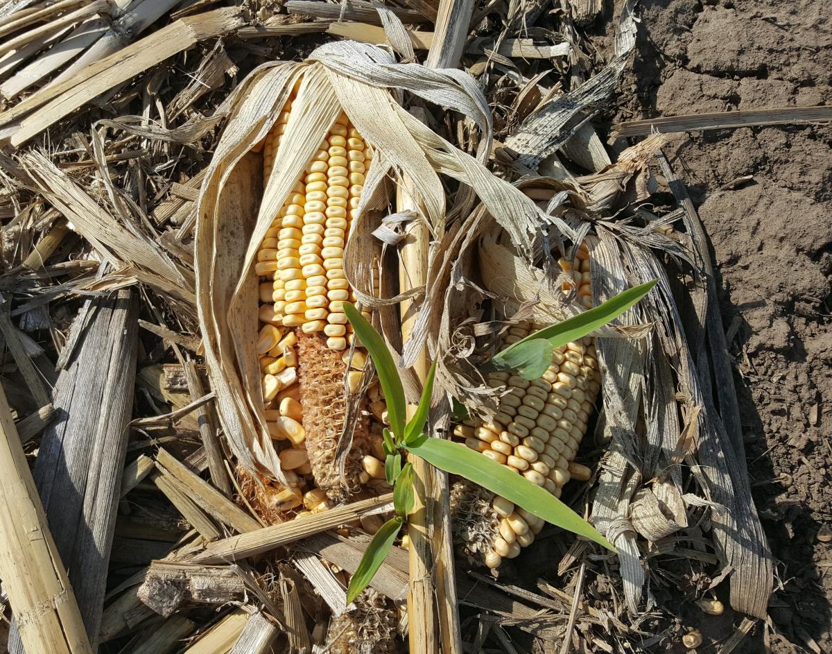 Volunteer corn in corn