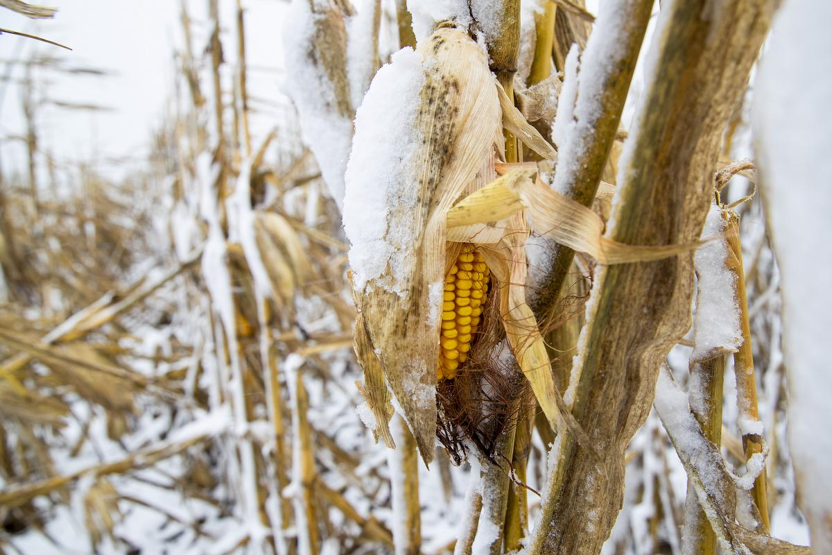 Snow-covered corn Oct. 14 near Lincoln. (Photo by Craig Chandler)
