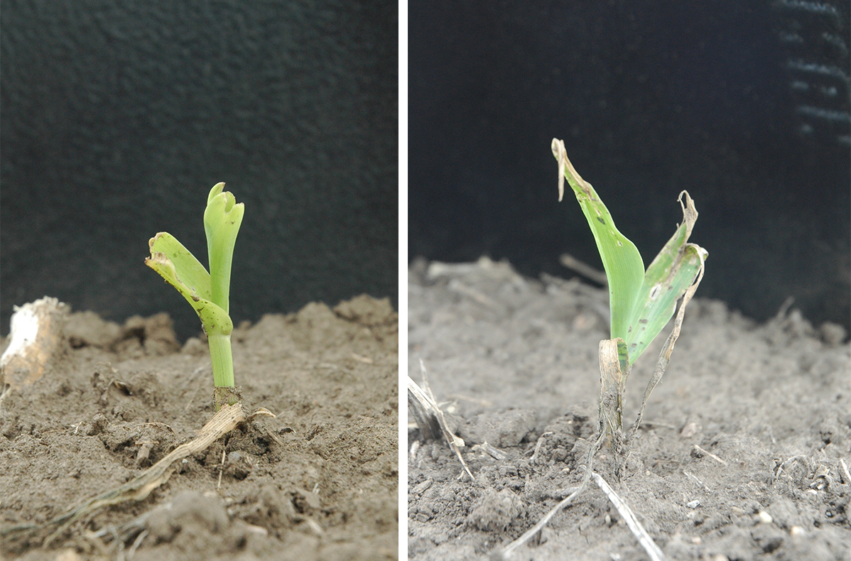 Corn plants damaged by dust and wind