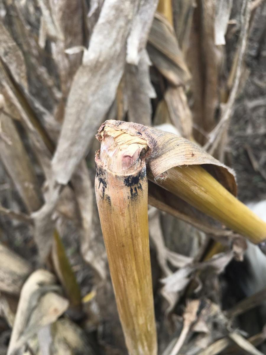Black structures at nodes indicative of gibberella stalk rot in corn