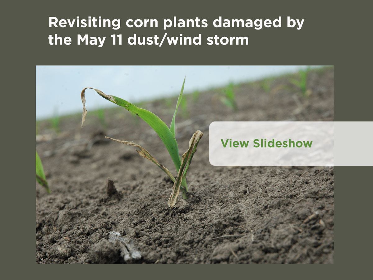 Revisiting corn plants damaged by the May 11 dust/wind storm