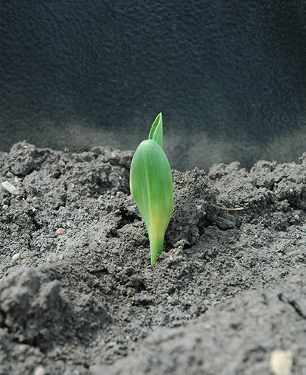 Cold banding on seedling corn leaves