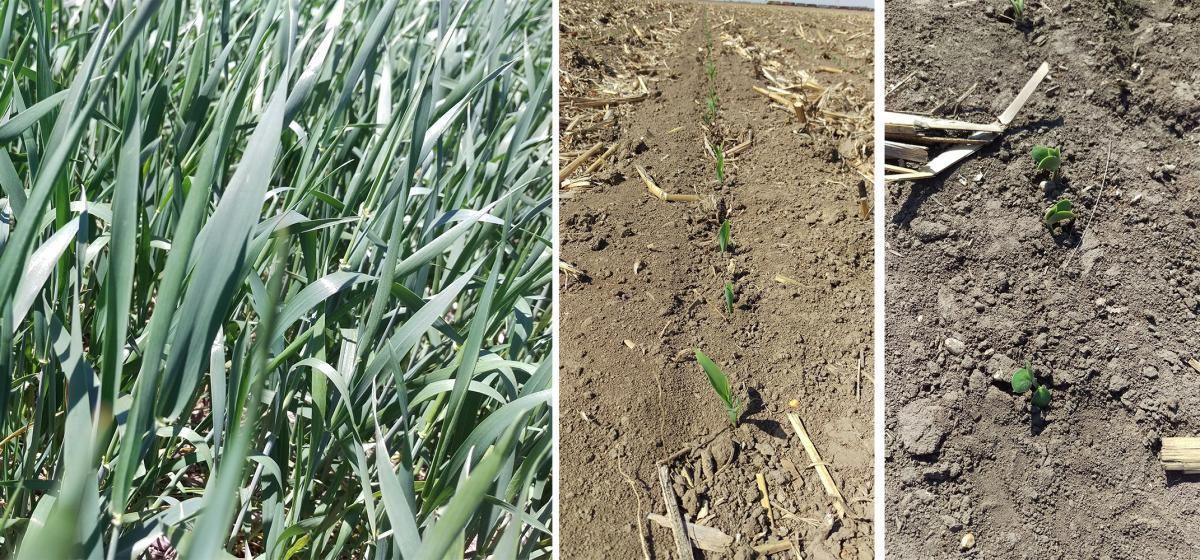 Photos of wheat field and corn and soybean seedlings