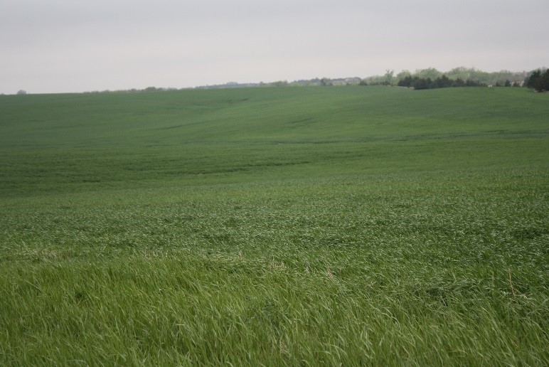 Wheat field at jointing stage