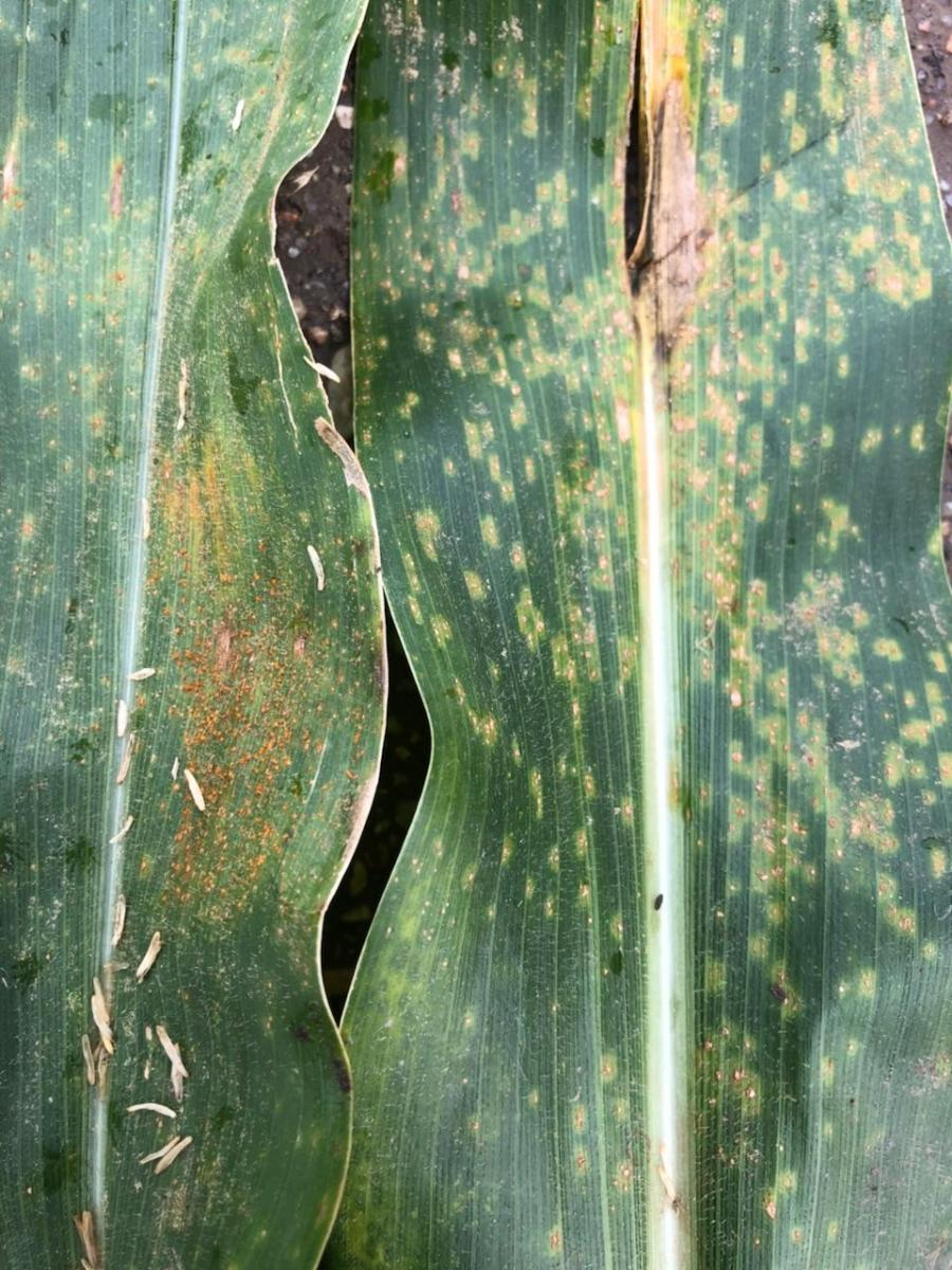 Southern rust on corn