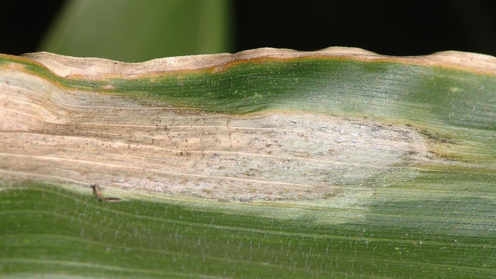 Goss's wilt freckles on a corn leaf
