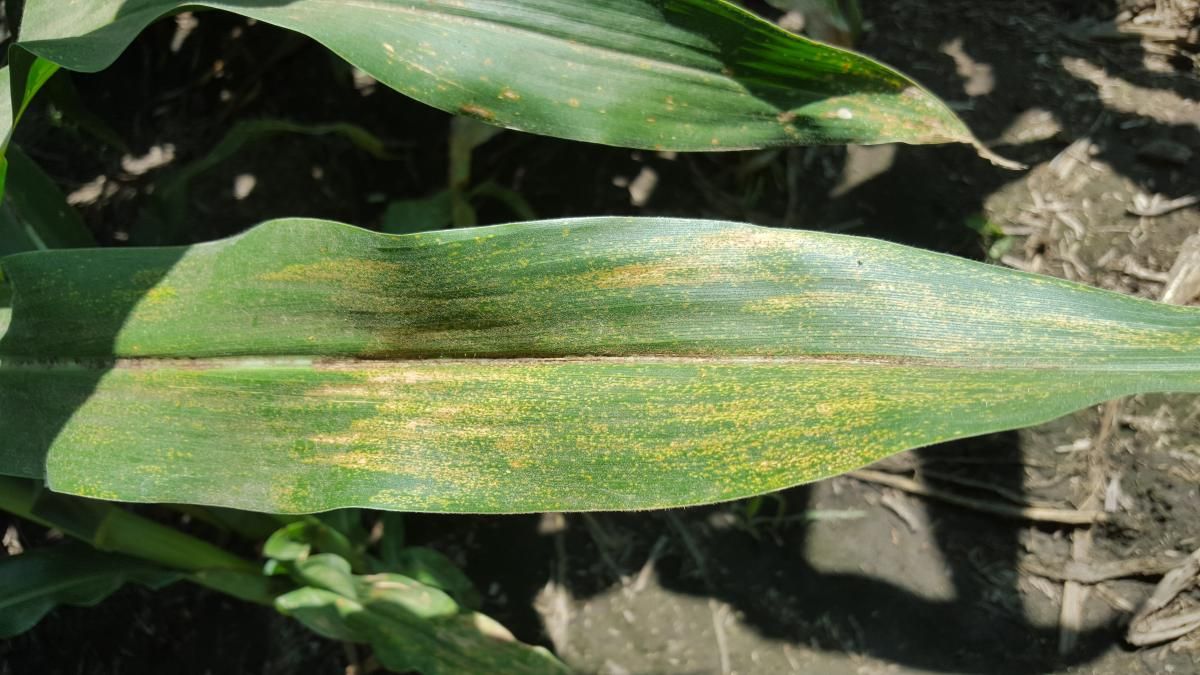 Phsyderma brown spots in corn
