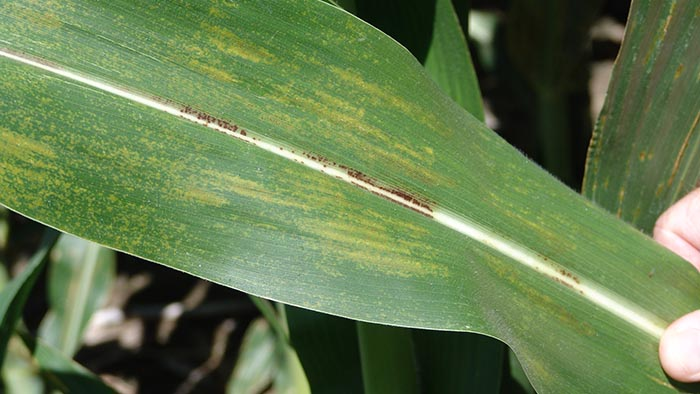 Physoderma bands on corn leaves