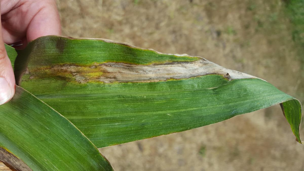 Goss's leaf blight on a corn leaf