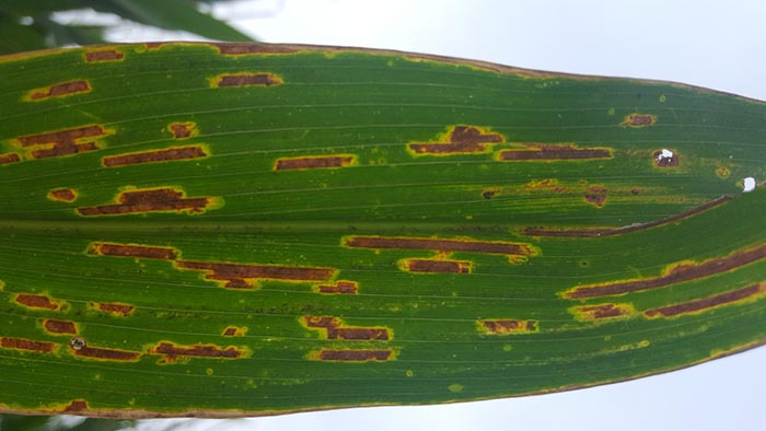 Backlit gray leaf spot lesions on a corn leaf