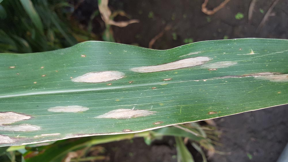 Northern corn leaf blight lesions on corn
