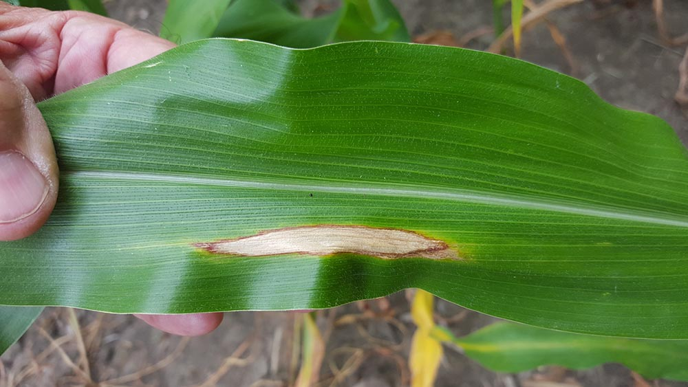 Northern corn leaf blight in corn