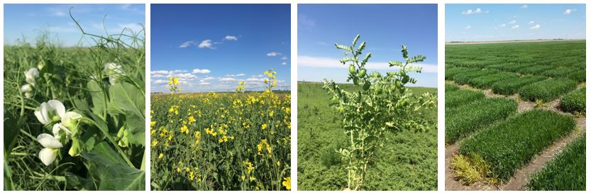 Field-pea-field-day-composite photo