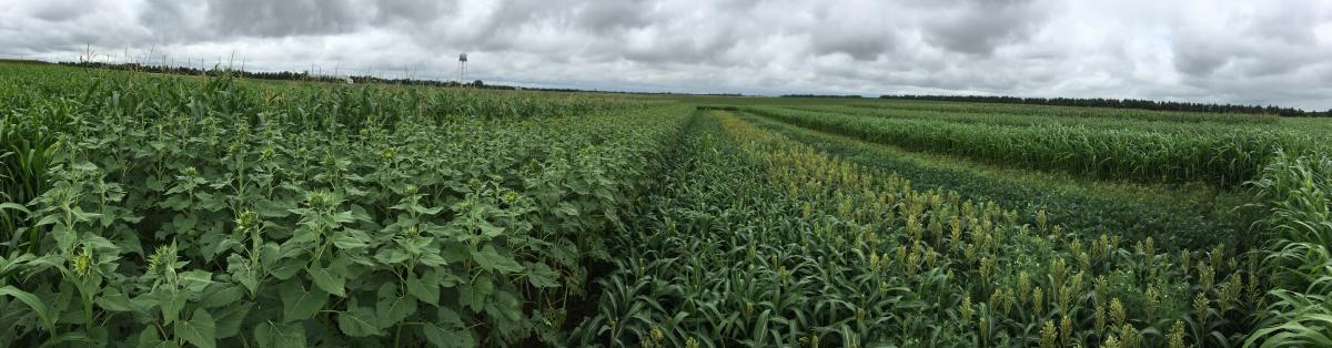Double crops planted on June 12 after field pea harvest
