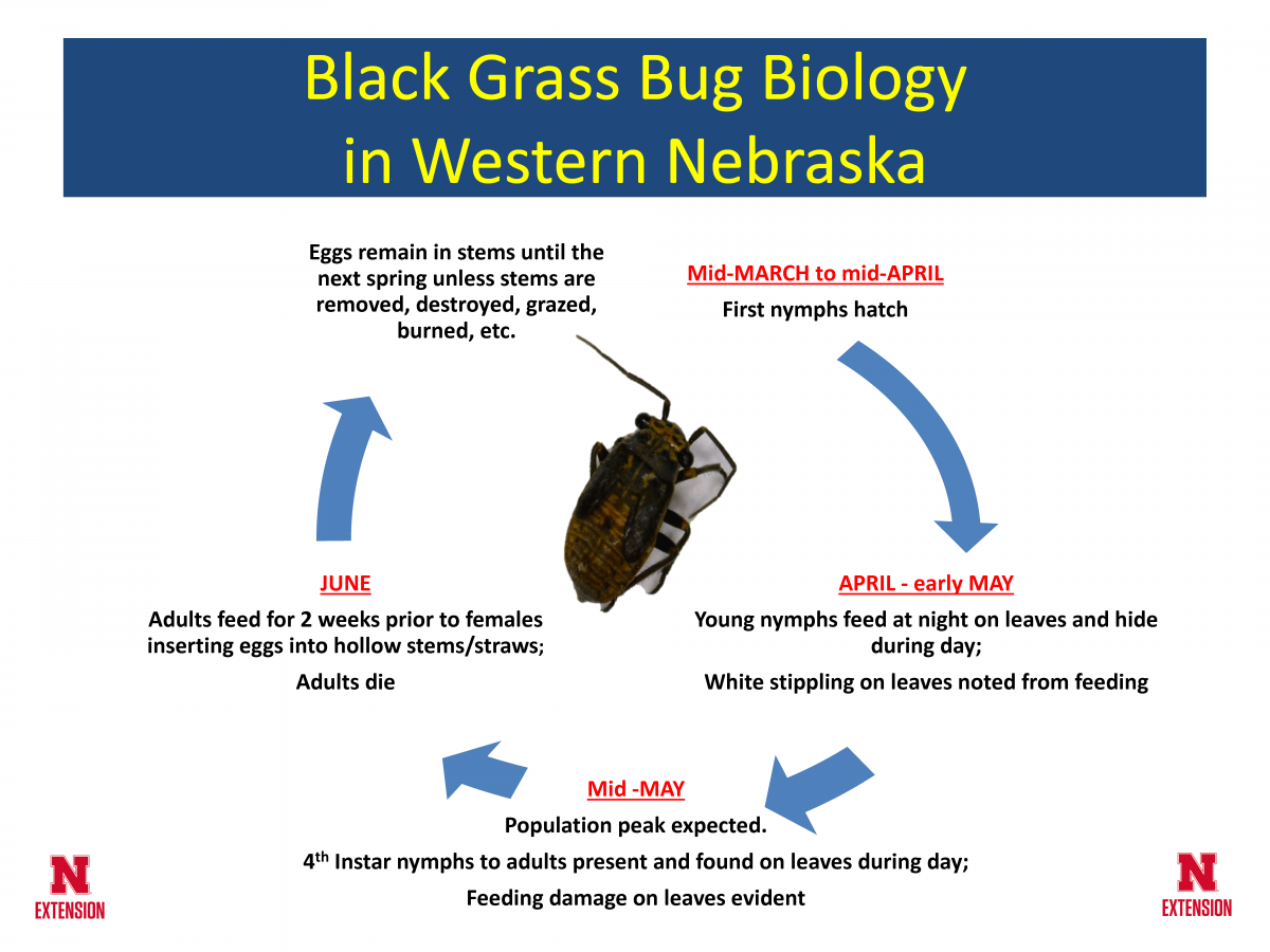 Life cycle of the black grass bug