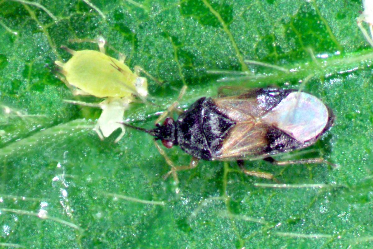 Minute pirate bug with soybean aphid
