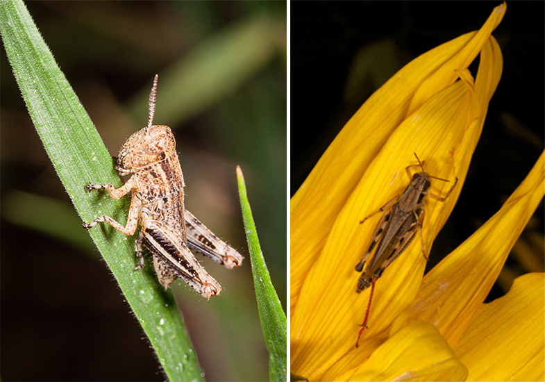 Red-legged grasshopper nymph (L) and adult.